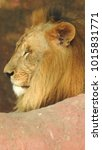 lion looking regal standing ... | Shutterstock . vector #1015831771