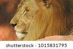 lion looking regal standing ... | Shutterstock . vector #1015831795