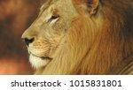 lion looking regal standing ... | Shutterstock . vector #1015831801