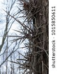 Honey Locust Tree Thorns ...