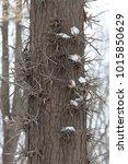 Honey Locust Tree Thorns In...