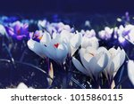 crocuses with white and purple... | Shutterstock . vector #1015860115