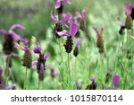 bees on lavender bushes   Shutterstock . vector #1015870114