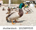 A Colourful Male Duck Amongst ...