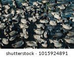 Small photo of Pandemonium coots while feeding on the water