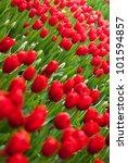 red tulips field   Shutterstock . vector #101594857