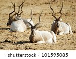 Heard Of Addax Rest On The...