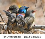 Small photo of Three fairy wrens on a branch