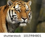 tiger is a carnivore and very...   Shutterstock . vector #1015984801