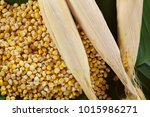 Small photo of Corn groats and seeds in green background. Waxy corn . Zea mays ceratina. Singburi Thailand.