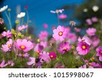 Stock photo cosmos flowers in garden on blue sky and blurred background as natural concept 1015998067