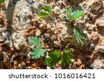 sapling of young plants on... | Shutterstock . vector #1016016421