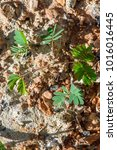 sapling of young plants on... | Shutterstock . vector #1016016445