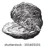 Oyster  Bivalve Mollusc  ...