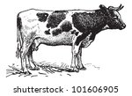 Dutch Cattle Breed  Vintage...