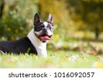Boston Terrier Posing In The...