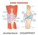 knee tendons medical vector... | Shutterstock .eps vector #1016095507