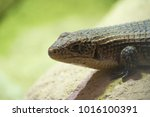 lizard on a rock | Shutterstock . vector #1016100391