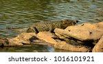 crocodile in kali river dandeli | Shutterstock . vector #1016101921