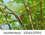 european or british robin ...   Shutterstock . vector #1016125501