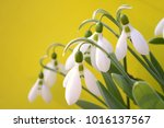 snowdrop flowers on a yellow... | Shutterstock . vector #1016137567