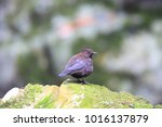 brown dipper  cinclus pallasii  ... | Shutterstock . vector #1016137879
