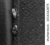 Small photo of Cimex lectularius or bed bug changed skin - black and white
