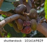 ficus aspera  crown fig  with... | Shutterstock . vector #1016169829