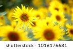 Sunflower Flower On Sunflower...