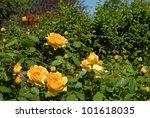Stock photo deep yellow roses 101618035