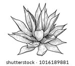 agave illustration  drawing ... | Shutterstock .eps vector #1016189881