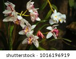 beautiful orchid in the garden | Shutterstock . vector #1016196919