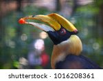 The Great Hornbill Also Known...