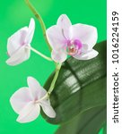 beautiful orchid on a green... | Shutterstock . vector #1016224159