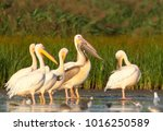 A Group Of Adult White Pelican...