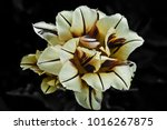 flower on black background | Shutterstock . vector #1016267875
