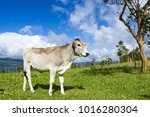 young dairy cow enjoying the... | Shutterstock . vector #1016280304