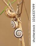gastropod shell  snail ...   Shutterstock . vector #1016337499