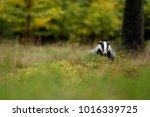 badger in forest  animal in... | Shutterstock . vector #1016339725