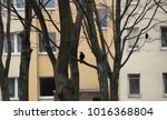 birds in the city   crows on a...   Shutterstock . vector #1016368804