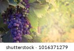 french vineyard with ripe...   Shutterstock . vector #1016371279