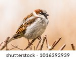 male or female house sparrow or ... | Shutterstock . vector #1016392939