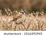 male or female house sparrow or ... | Shutterstock . vector #1016392945