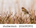 male or female house sparrow or ... | Shutterstock . vector #1016392951