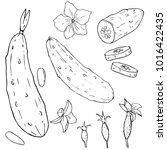 cucumber hand drawn vector set. ... | Shutterstock .eps vector #1016422435