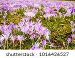 crocus  plural crocuses or...   Shutterstock . vector #1016426527