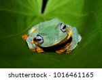 tree frog  flying frog ... | Shutterstock . vector #1016461165