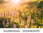 wild bloomy flowers lupine in...   Shutterstock . vector #1016462455