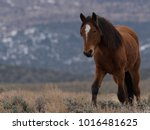 Small photo of A chestnut colored wild horse with a white blaze on open range land in western Nevada, near Minden, NV