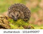 Hedgehog  Native  Wild Europea...